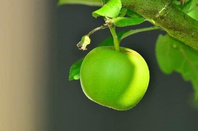 Est-ce que la pomme peut aider à perdre du poids ?